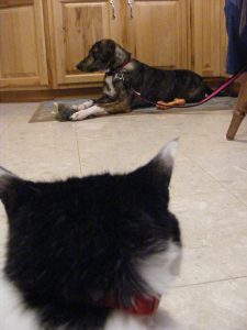 Our cat Oreo and Reese the dog.