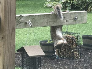Squirrel stealing food